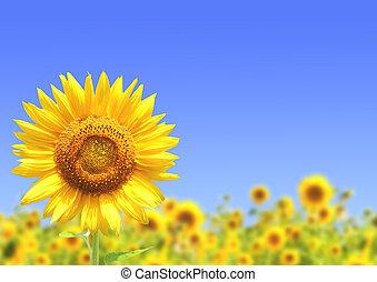 Sunflowers - Yellow sunflowers and blue sky