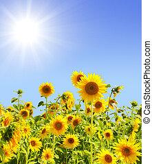 Sunflowers - Yellow sunflowers and bright sun