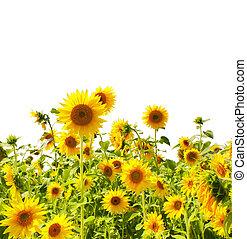 Sunflowers - Yellow sunflowers - isolated over white