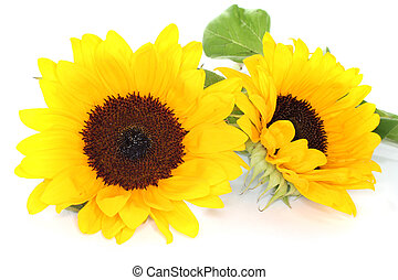 Sunflowers - yellow sunflowers with leaves on a white ...