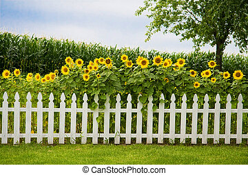 Sunfowers growing behind a decorative white picket fence