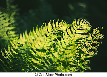 sunlight., 成長しなさい, 光線, 葉, 緑, 暗い, 照らされた, シダ, 森林
