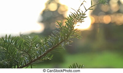 Sunlight and lens flare, fir tree - Sunlight and lens...