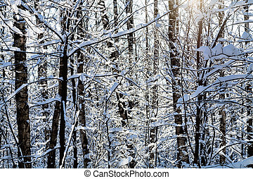 sunlight between snow-covered trees in forest