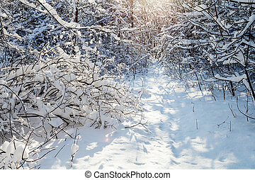 sunlight between trees in forest in winter day