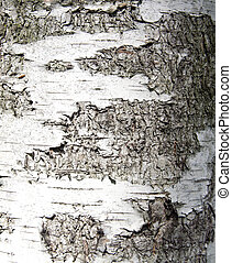 Sunlight birch bark on the tree as a background