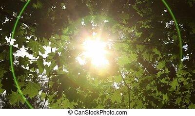 Sunlight breaks through the green leaves of maple