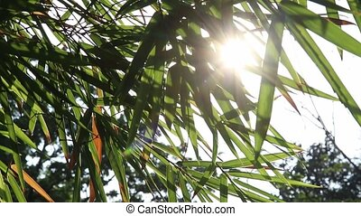 Sunlight flares through bamboo leaves - Sunlight flares...