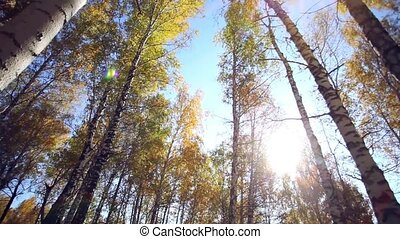 Sunlight. Forest Glade. The branches of the trees. - Sunset....