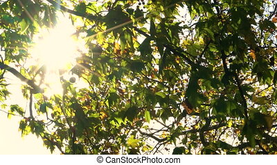 Sunlight glinting through the leaves of a horse chestnut or conker tree in Fall or Autumn