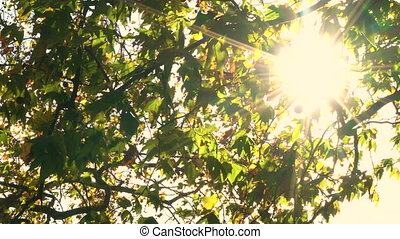 Sunlight glinting through the leaves of a horse chestnut tree in Fall or Autumn