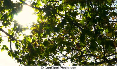Sunlight glinting through the leaves of a horse chestnut...