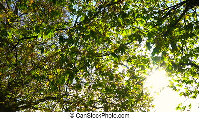 Sunlight glinting through the leaves of a tree in Fall or Autumn