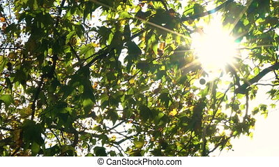 Sunlight glinting through the leaves of a horse chestnut or...