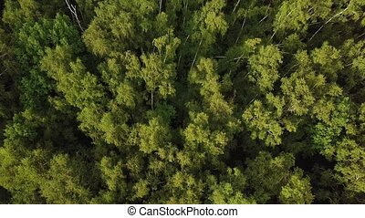 Sunlight in bright green tree crowns. Aerial shot of birch...