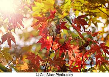 sunlight in colorful maple foliage