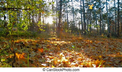Sunlight In Early Autumn Forest. Tracking Shot
