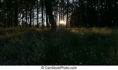 Sunlight in the forest at sunset.