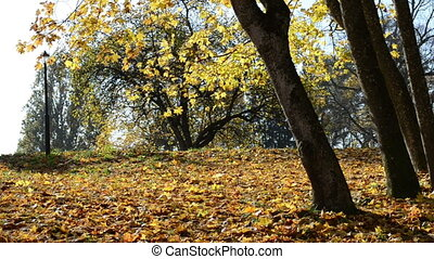 sunlight leaf fall autumn - sunlighted golden yellow leaves...
