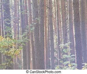Sunlight penetreting throught dense coniferous forest trunks.