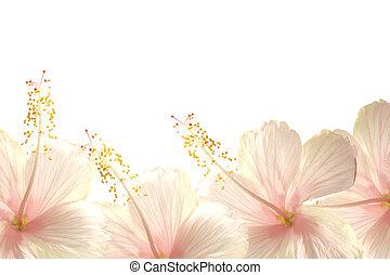 Sunlight pink hibiscus flower border background - Sunlight...