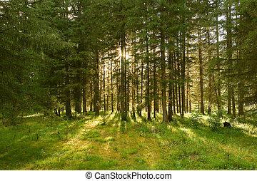 sunlight rays in the forest