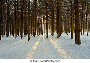 sunlight rays in winter forest - sunlight rays in fir winter...