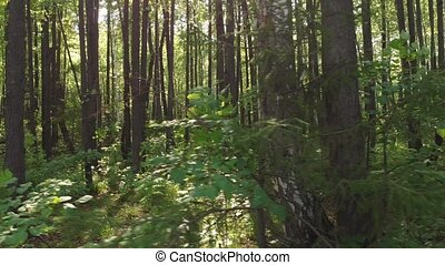 sunlight shines through the pine trunks, camera movement...