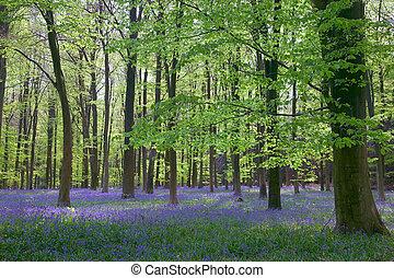Sunlight through Beech woods - Beech trees and bluebells in...
