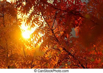 Sunlight through rowan branches at sunrise, red autumn