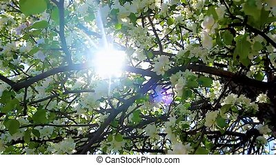 Sunlight through the flowering branches of apple trees