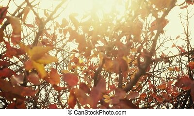 Sunlight through the red leaves of a tree