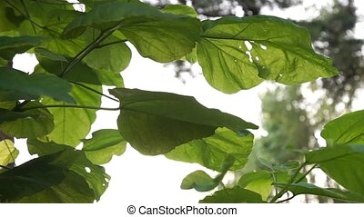 Sunlight through the spring green sycamore leaves