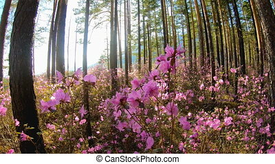 Sunlight through the trees in the forest among the pink flowers of Rhododendron