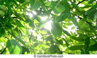 Sunlight through walnut tree - Morning Sunlight through...