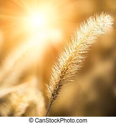 sunlight with setaria, beautiful background