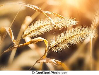 sunlight with setaria,beautiful background
