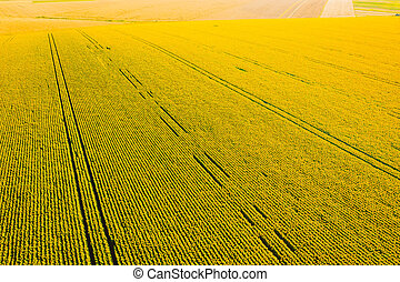 sunlight., zángano, campo, imagen, amarillo, idílico,...