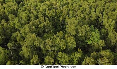 Sunlit birch grove from above. Shot from drone flying above...