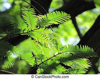 Sunlit Dawn Redwood - Photo of Dawn Redwood needles sunlit...