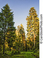 Sunlit firs in a forest, bright sun on firs top