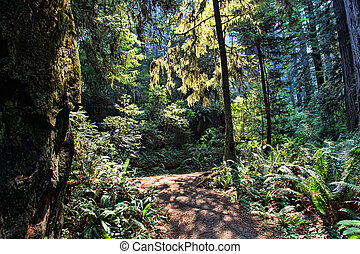 Sunlit path shines in a dark primeval forest in Washington.