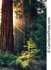 Early morning sunlight in the Sequoias of Mariposa Grove, Yosemite National Park, California, USA. Rays of sun hightlight a young tree.