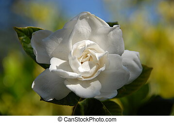 Single White Gardenia Highlighted with Sun