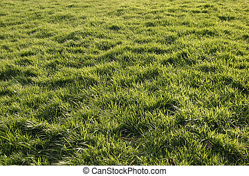 Healthy, new grass backlit by the sun