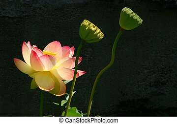 Sunlit Lotus - A Sunlit Lotus Blossom and Seed Heads are...