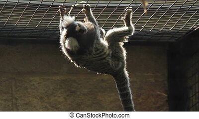 Sunlit marmoset. - A backlit marmoset at the Toronto Zoo,...