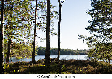 Sunlit pine trees by a small lake