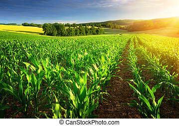 Sunlit rows of corn plants - Rows of young corn plants on a ...