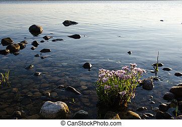 Sunlit Sea Aster plant by the coast